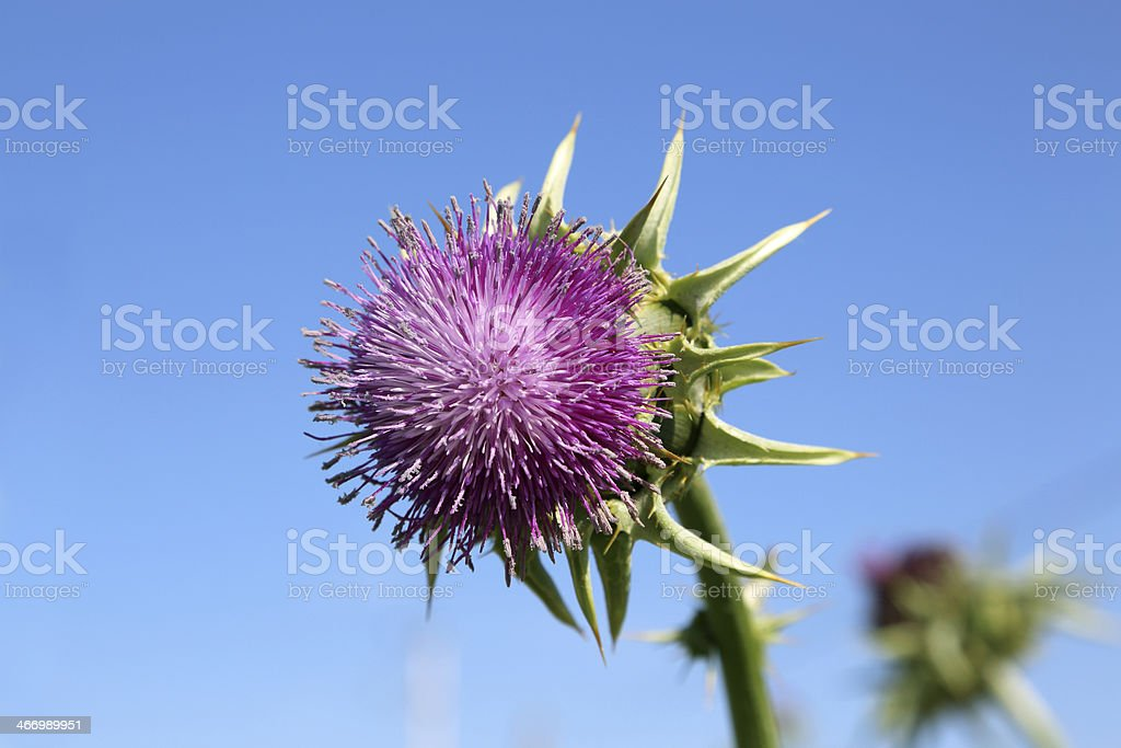 milk thistle royalty-free stock photo