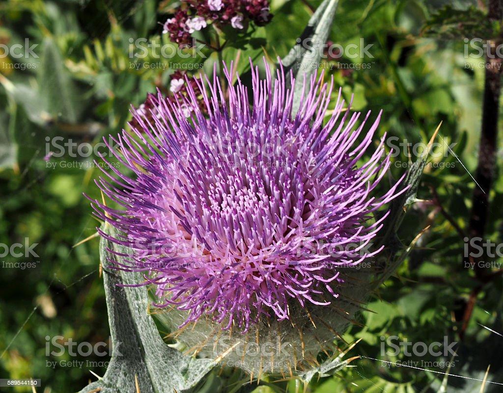 Milk Thistle plant Silybum marianum herbal remedy. Scotch , Cardus marianus stock photo