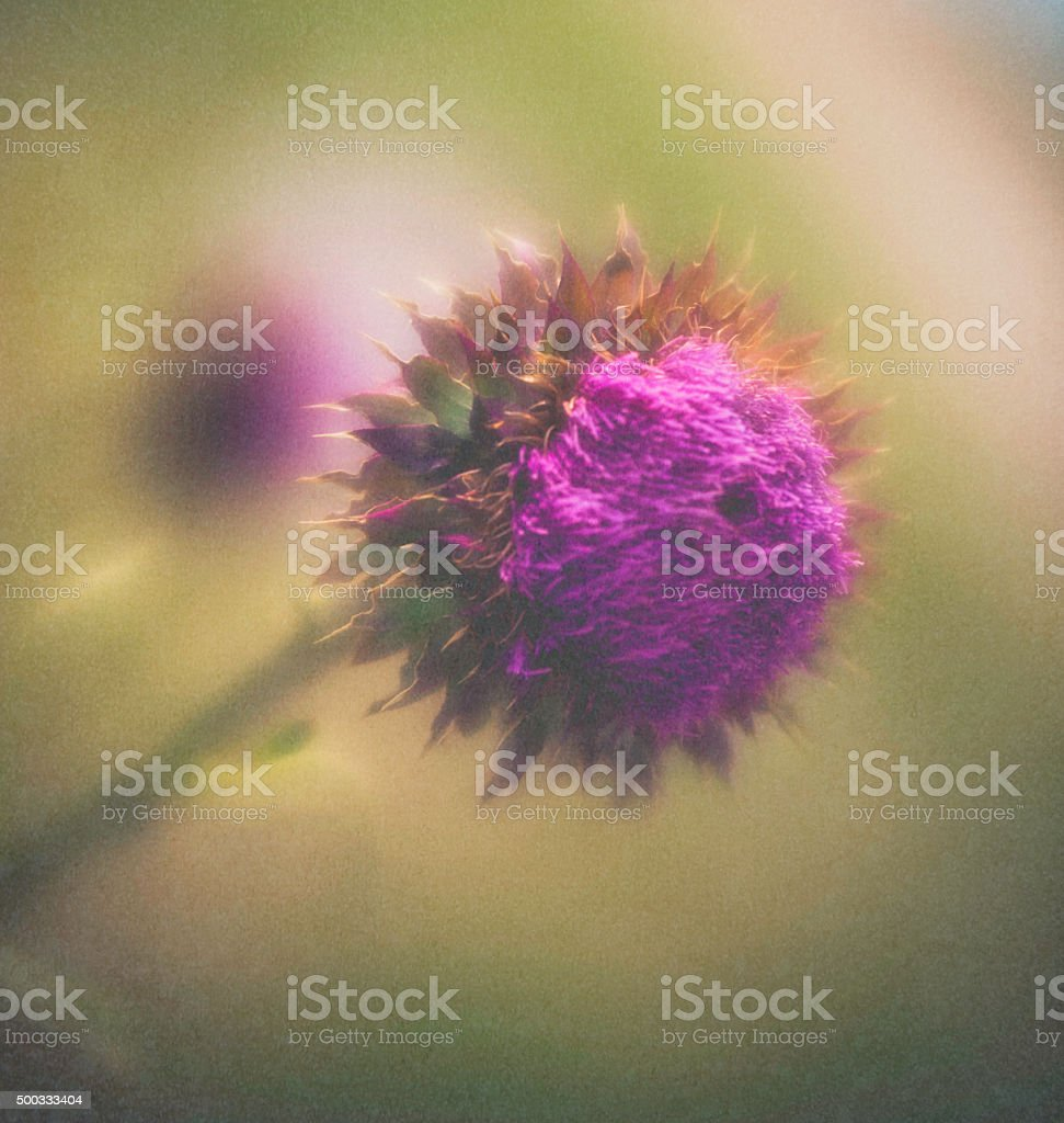 Milk thistles head in full bloom with textured overlay stock photo