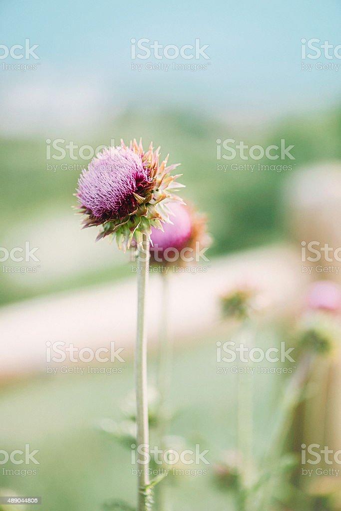 Milk thistles in full bloom in rural setting stock photo