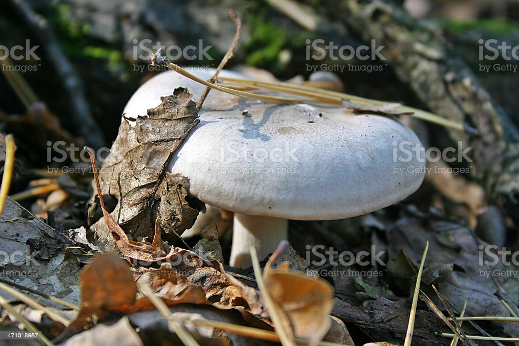 Milk-agaric stock photo
