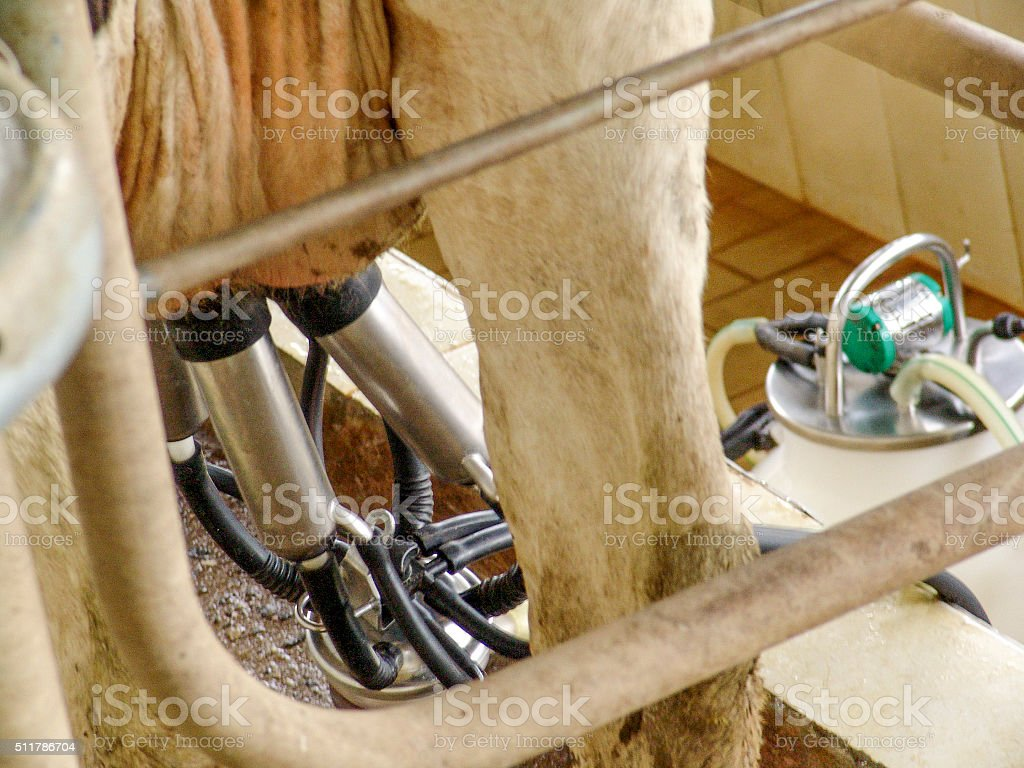 Milking cow in a farm stock photo
