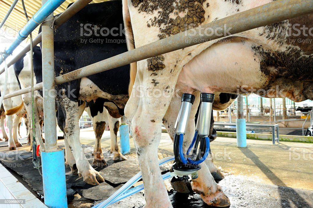 Milking cows machine stock photo