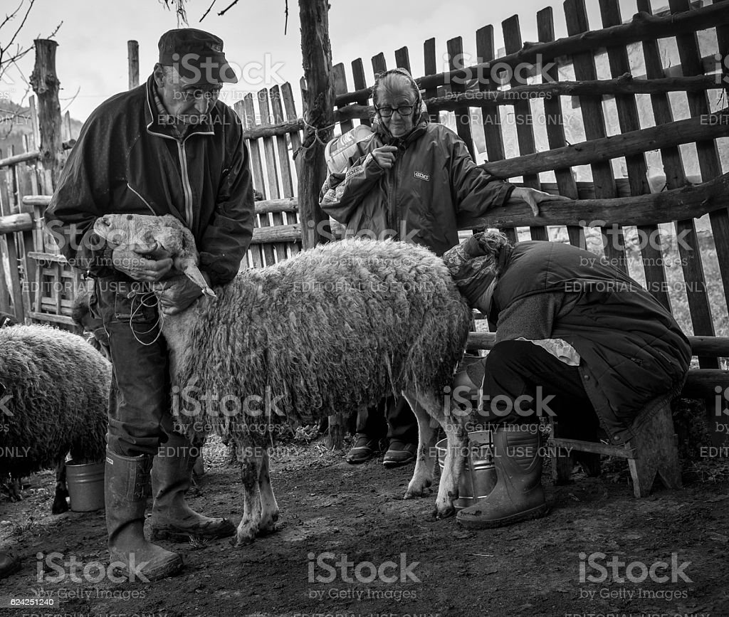 Milking sheep in Brezovica on the mountain household stock photo