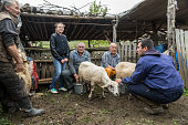Milking sheep in Brezovica on the mountain household