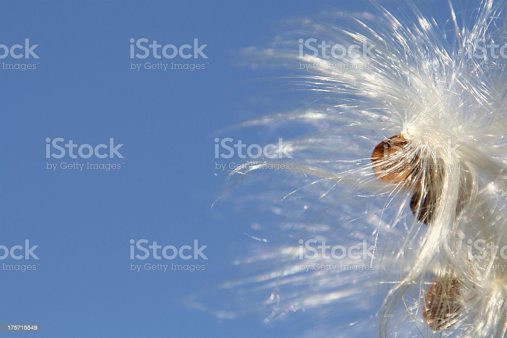Milkweed against blue sky royalty-free stock photo