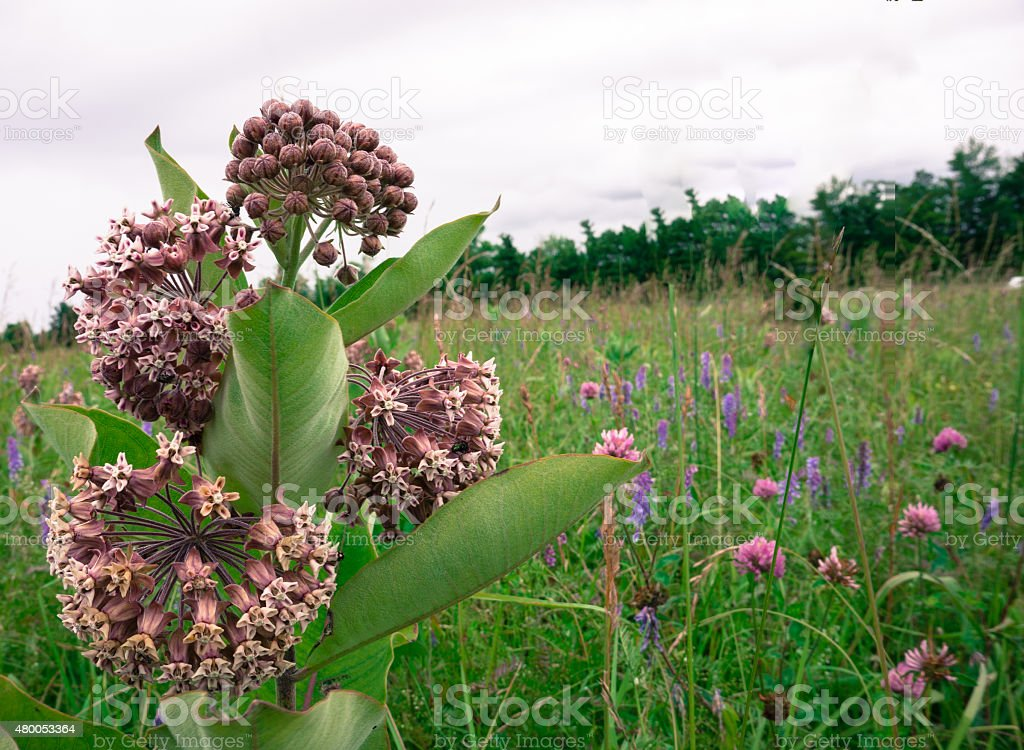 milkweed among wildflowers stock photo