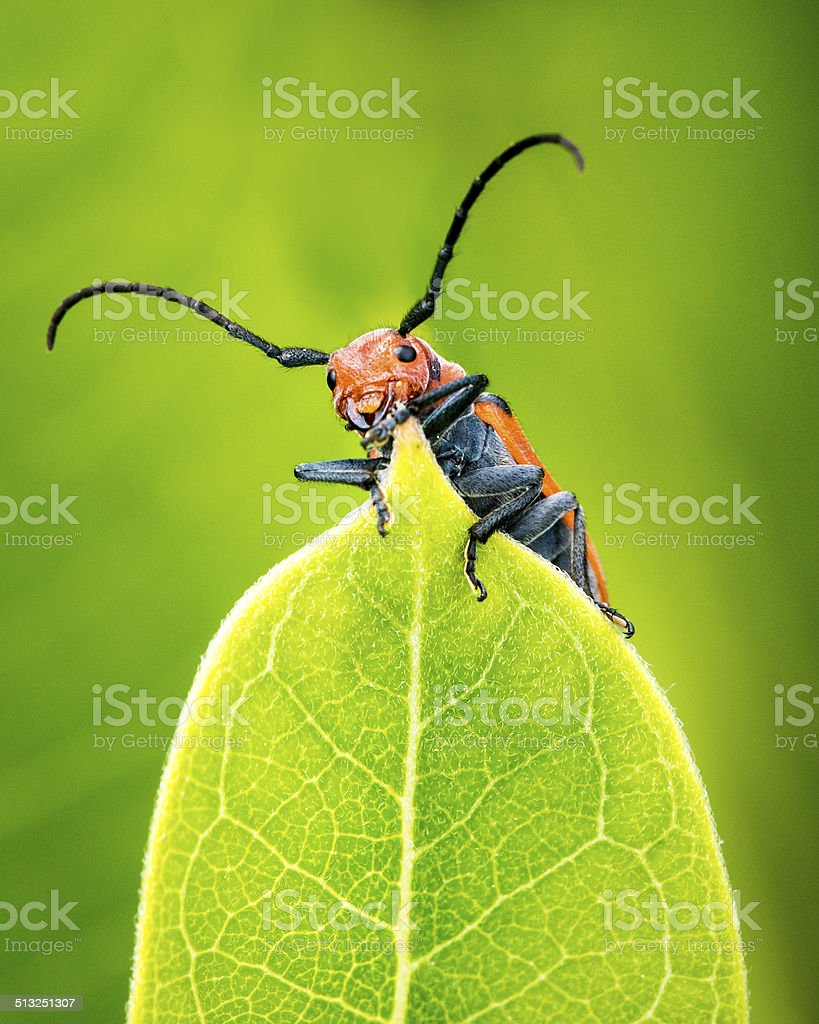Milkweed Beetle stock photo