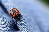 Milkweed Bug (Oncopeltus fasciatus) on Blue Jeans