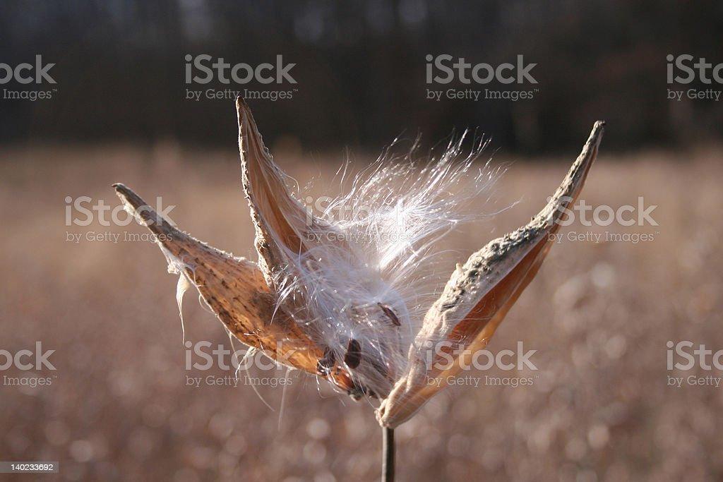 Milkweed Explosion! stock photo