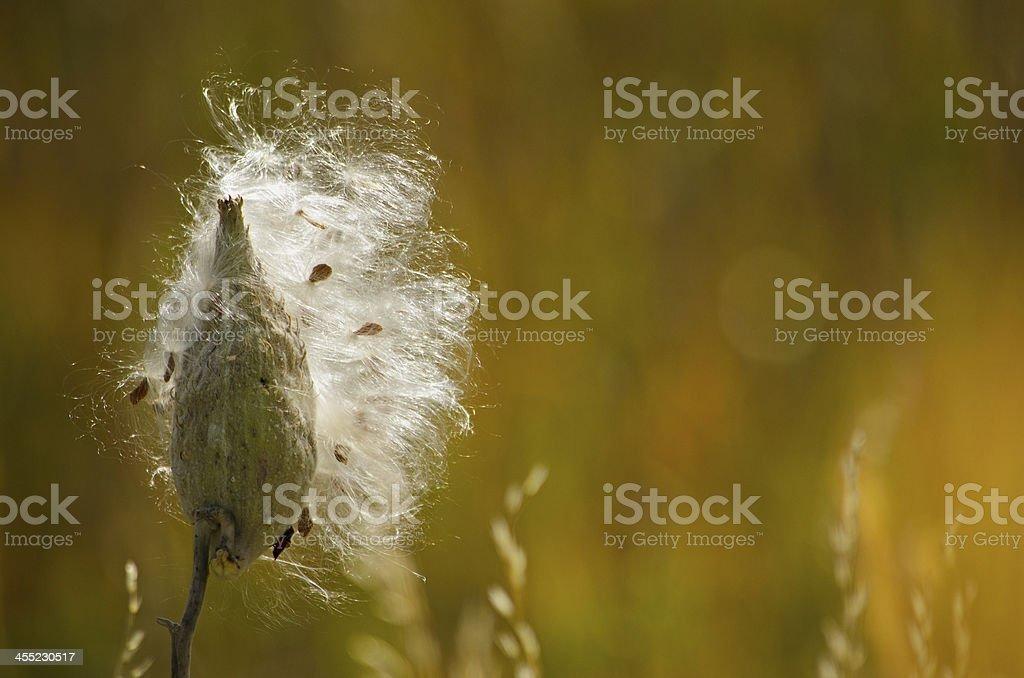 Milkweed royalty-free stock photo