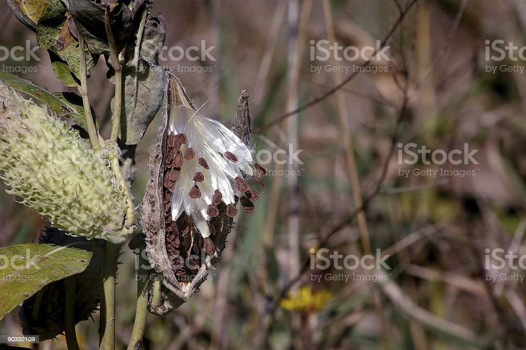 Milkweed Plant Copy Space Right royalty-free stock photo