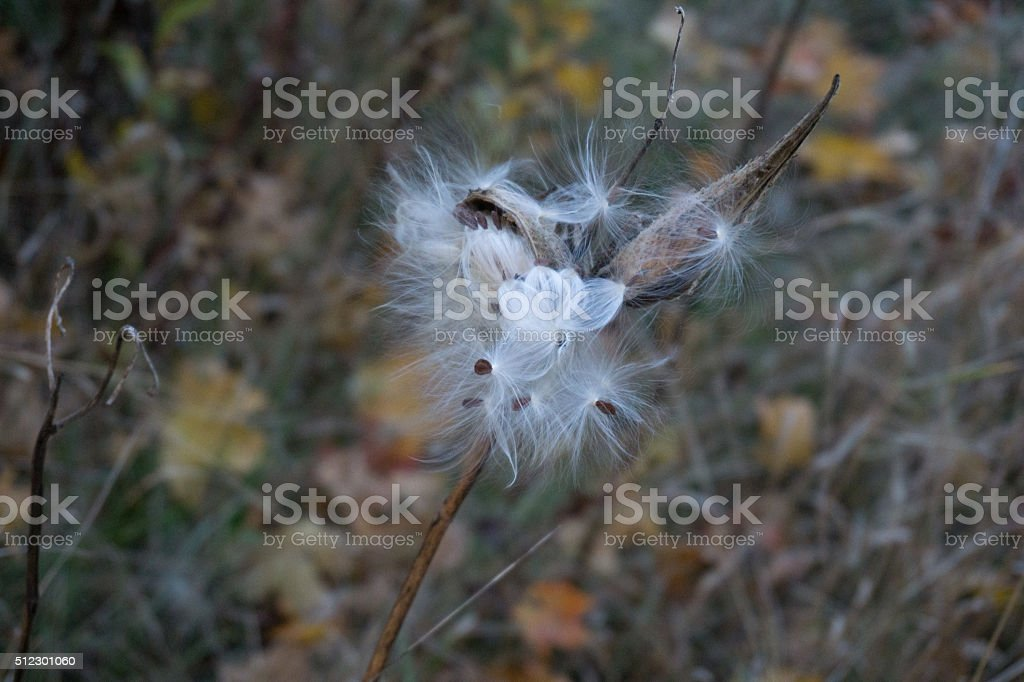 Milkweed Pod Bursts stock photo