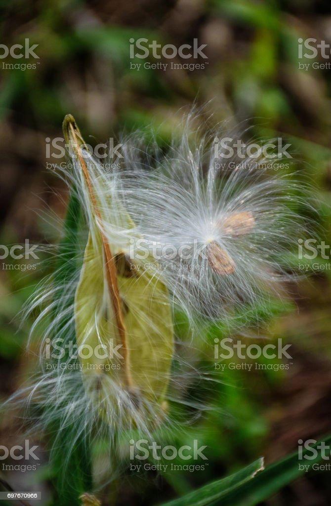 Milkweed pod stock photo