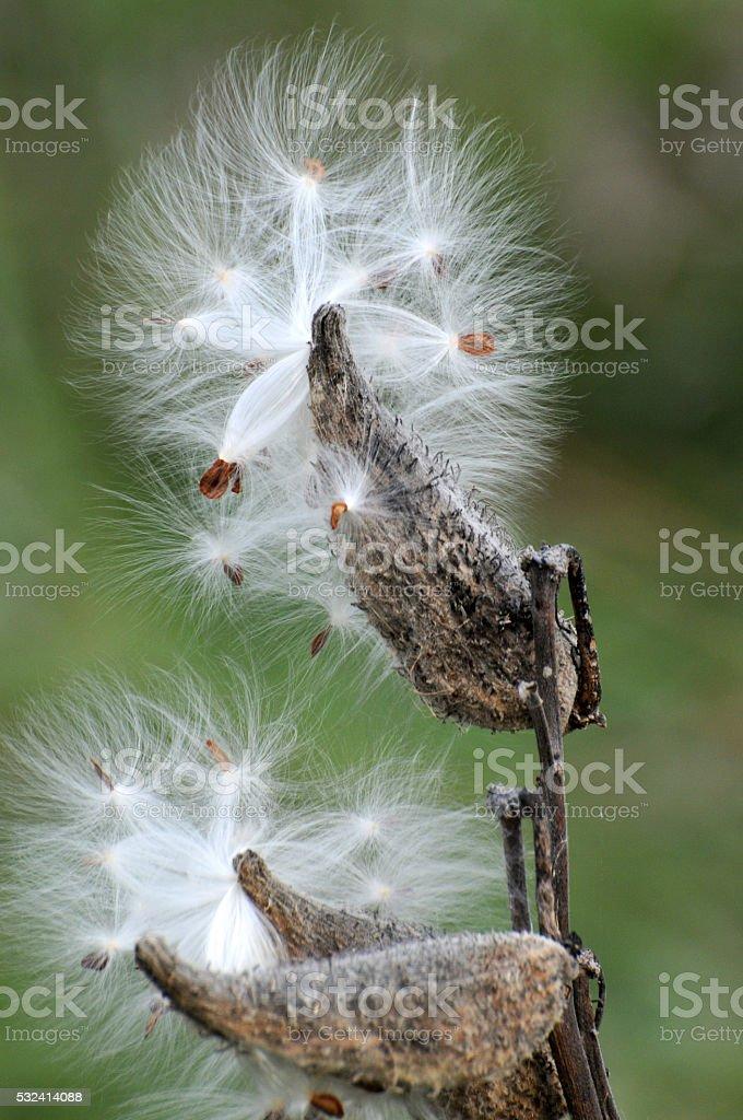 Milkweed Pods & Seeds stock photo