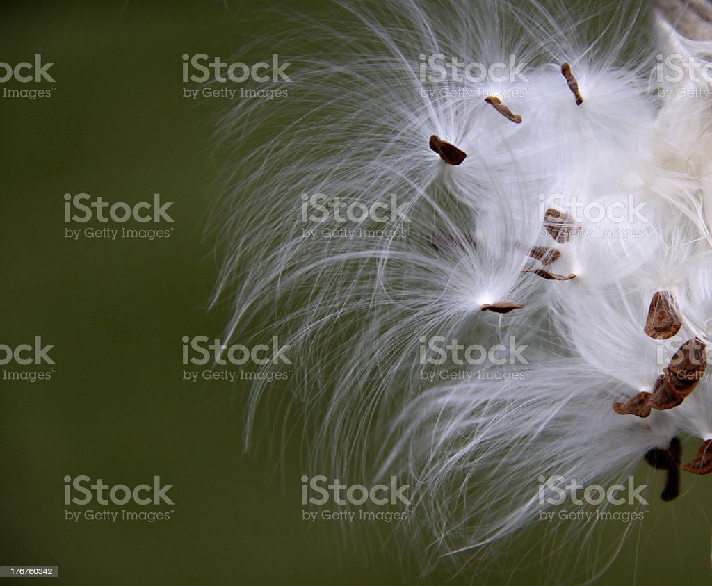 Milkweed seeds against a green backgound stock photo