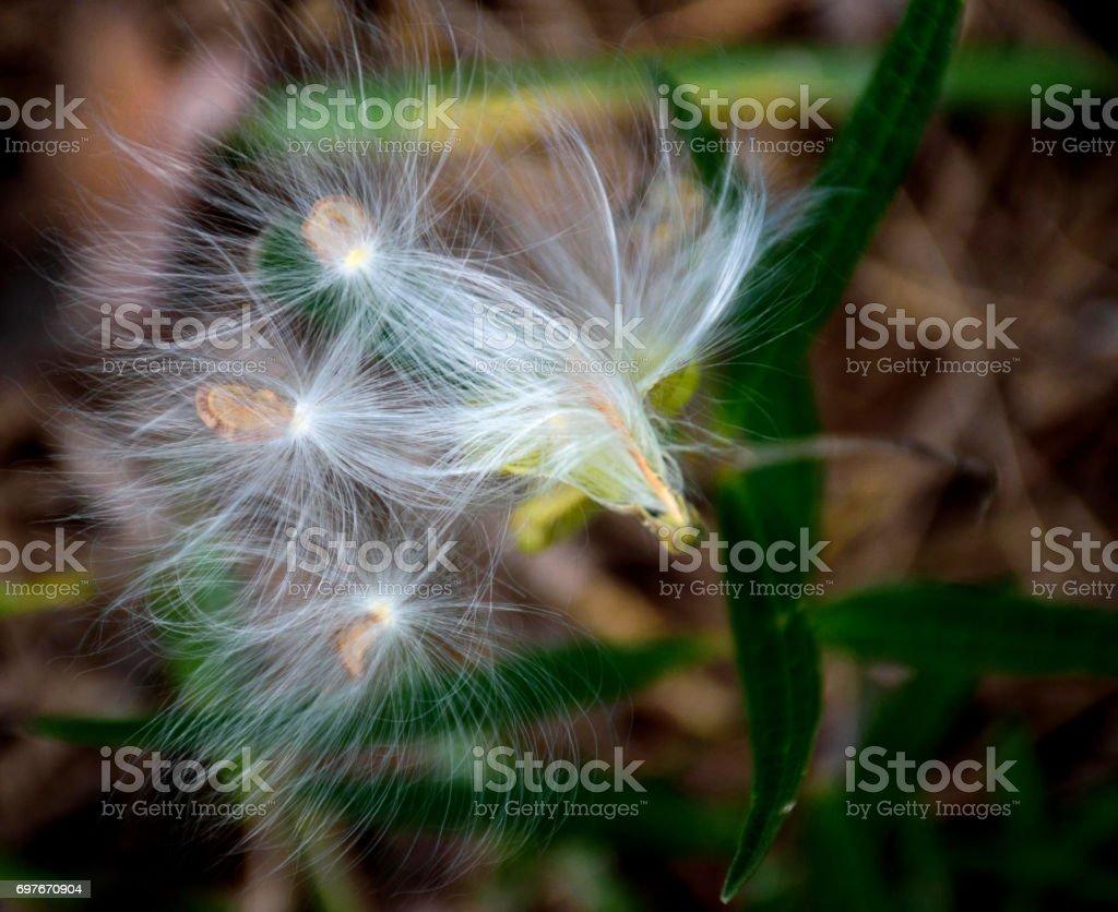 Milkweed seeds stock photo