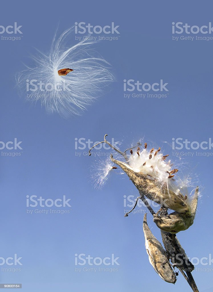 Milkweed Seeds stock photo