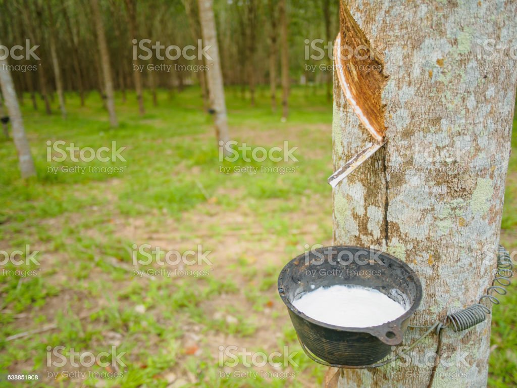 Milky latex extracted from rubber tree stock photo