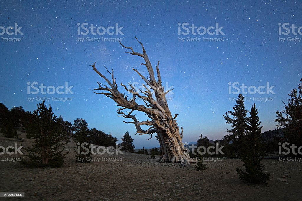 Milky Way Galaxy over the Bristlecone Pines stock photo