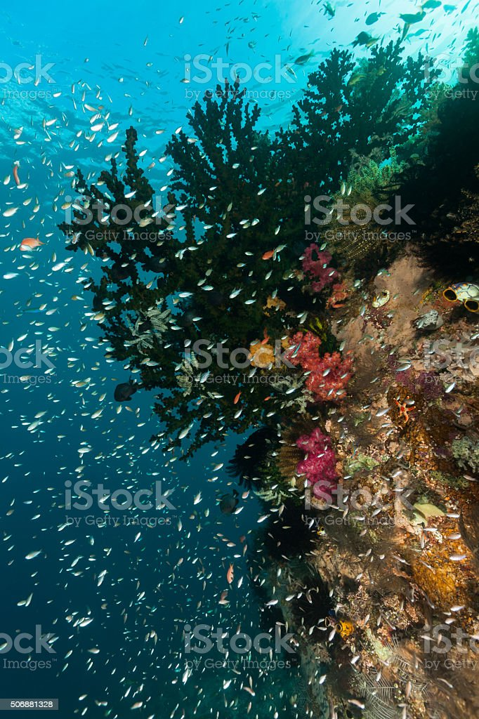 Milkyway of Small Fishes, Black Suncoral, Komodo National Park, Indonesia stock photo