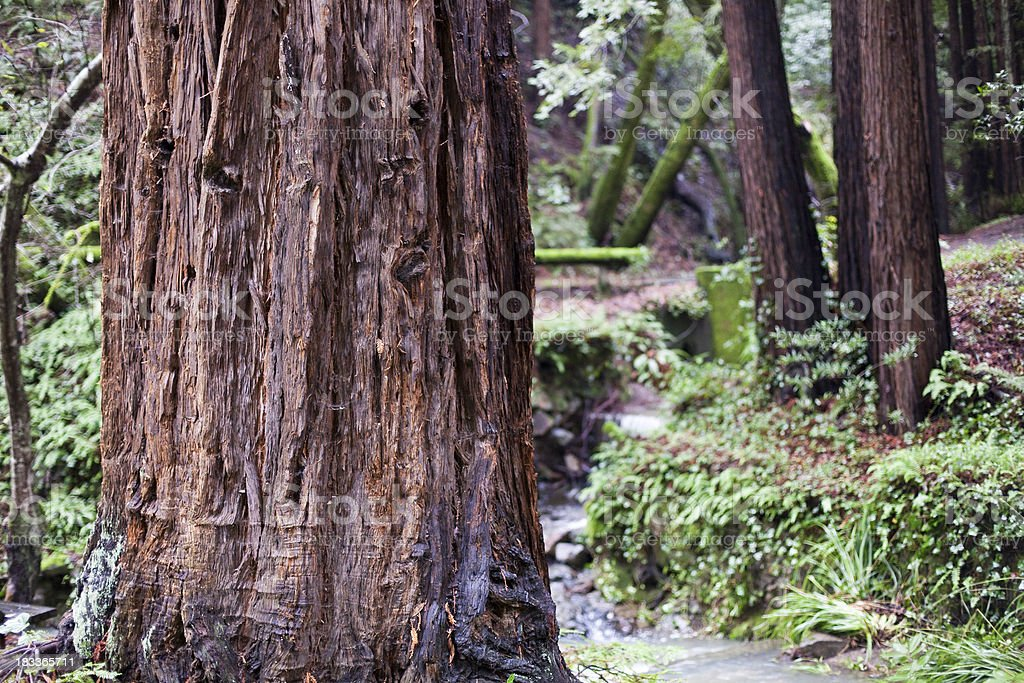 Mill Valley Redwoods stock photo