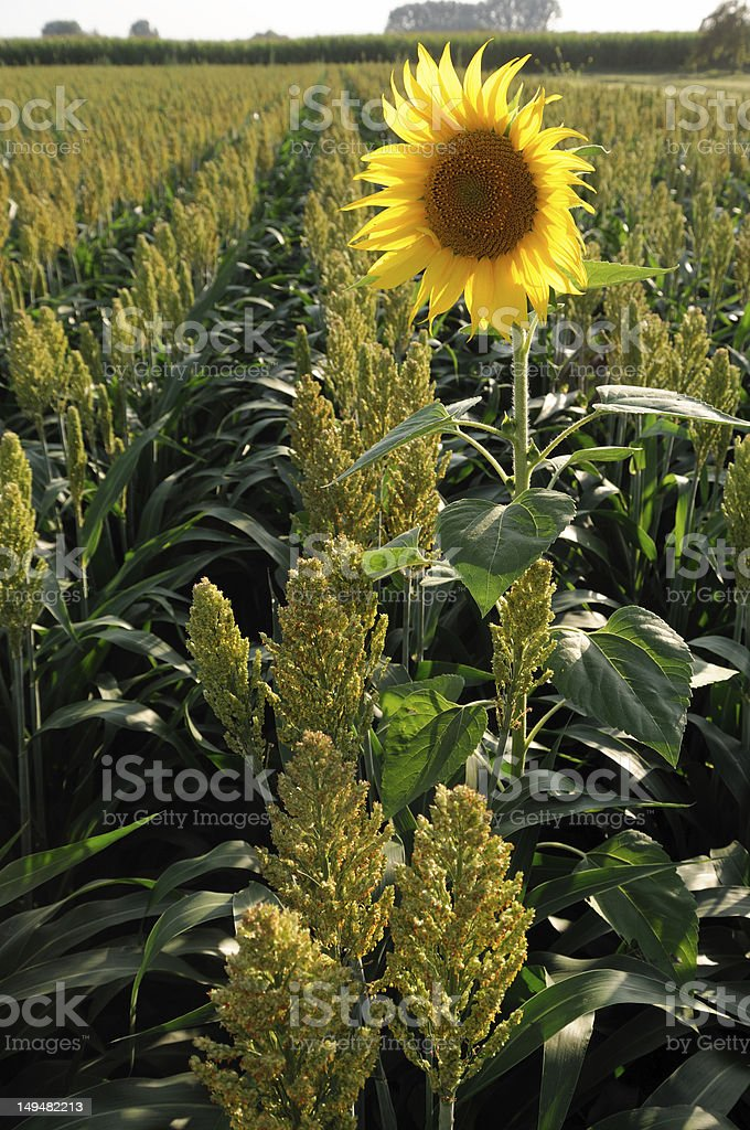 Millet And Sunflower royalty-free stock photo