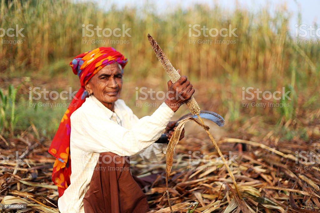 Millet Crop Harvest ! stock photo
