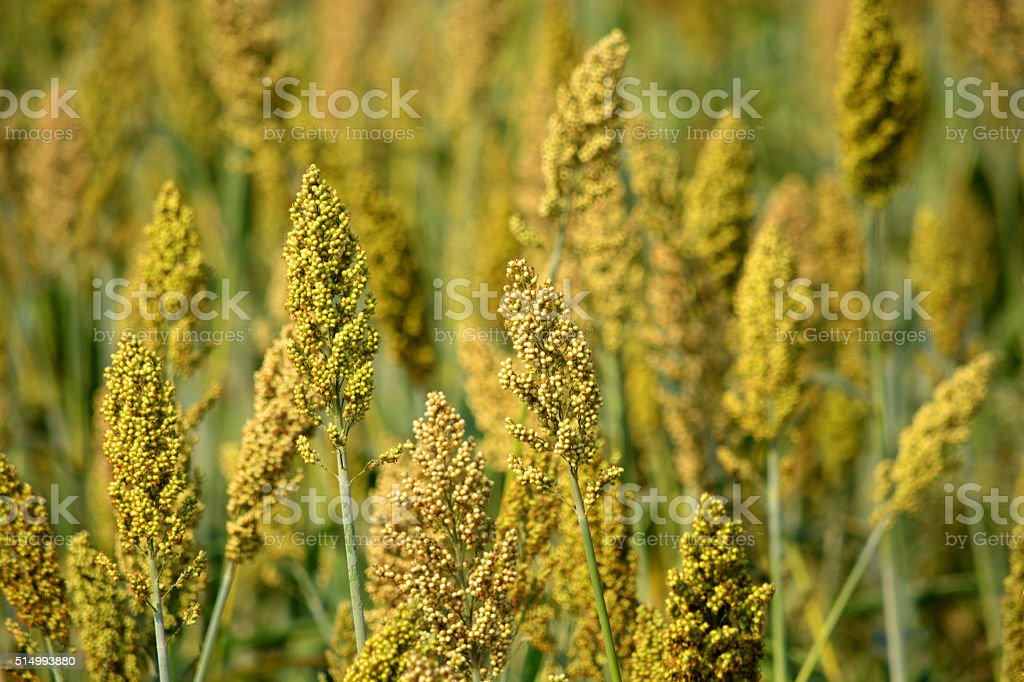Millet field stock photo