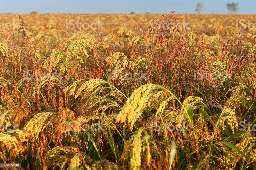Millet in Farm Field royalty-free stock photo