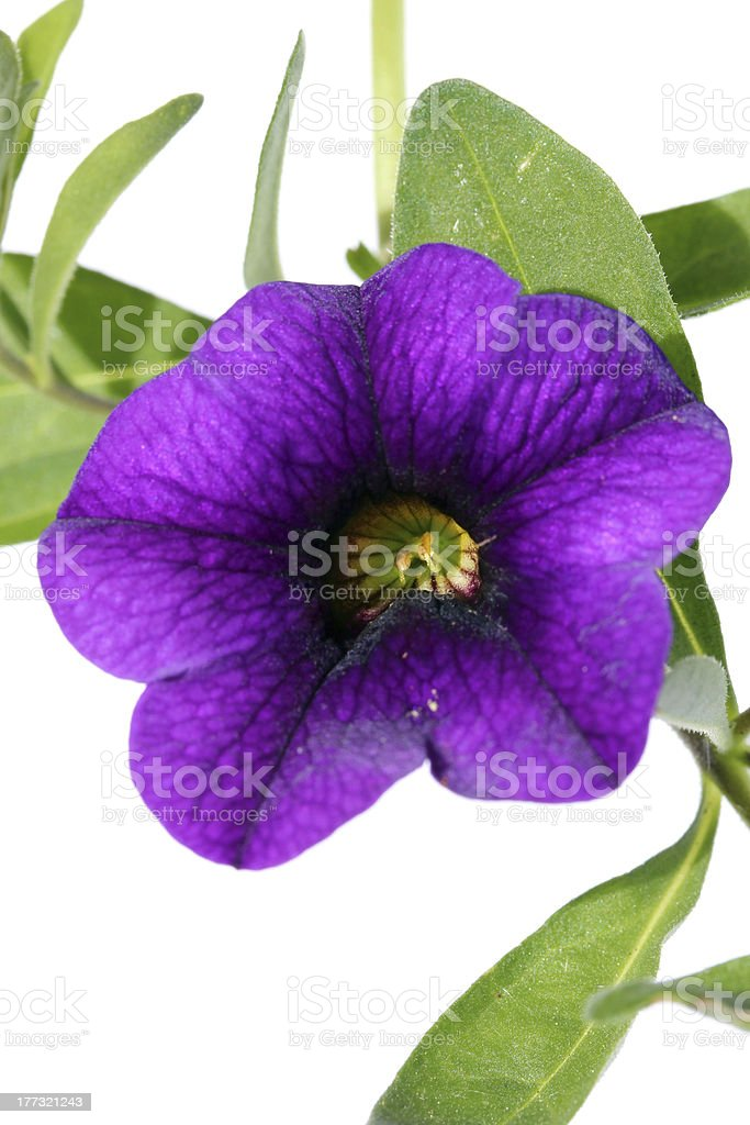 Million Bells Grape Punch royalty-free stock photo