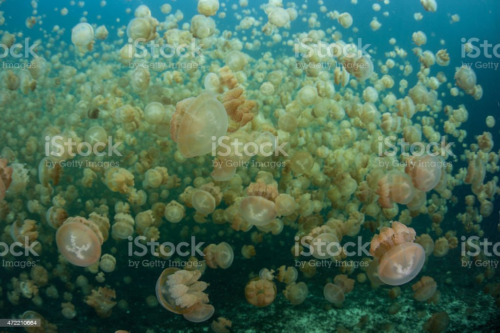 Millions of Endemic Jellyfish stock photo