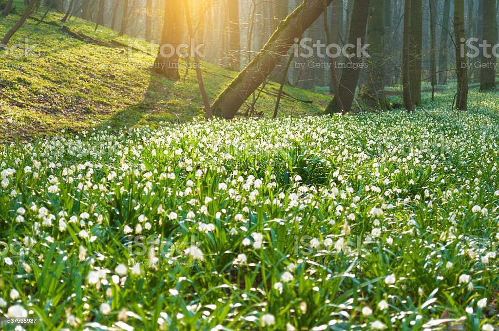 Millions of spring snowflakes in a forest stock photo