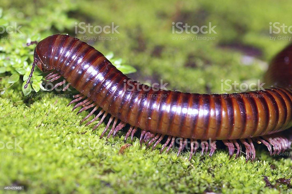 millipede on moss mat stock photo