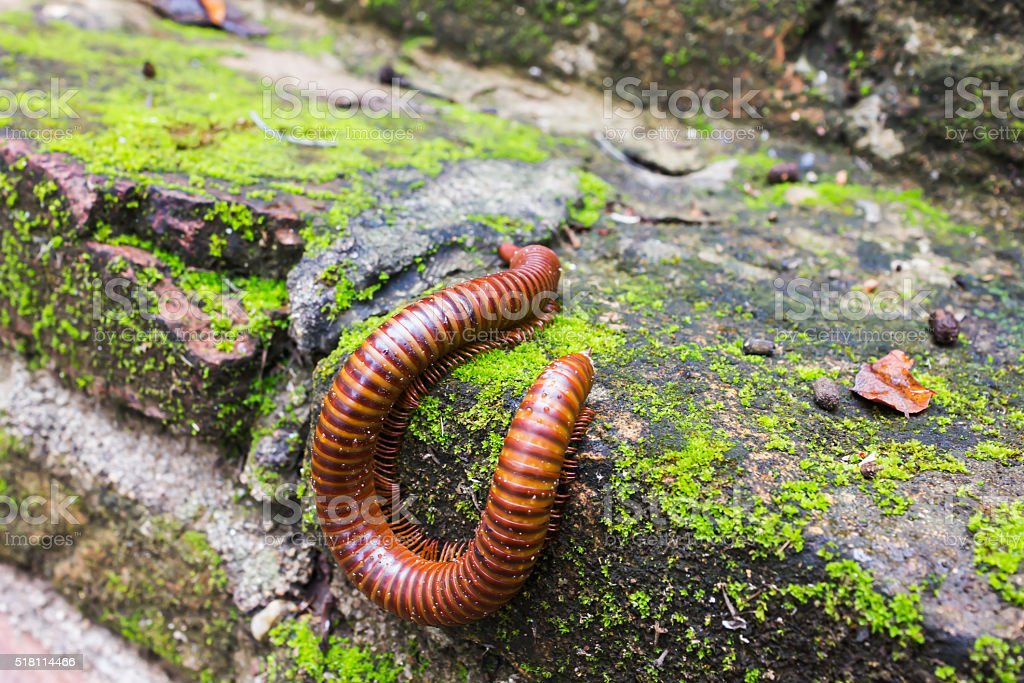 millipede or millepede eating mosses stock photo
