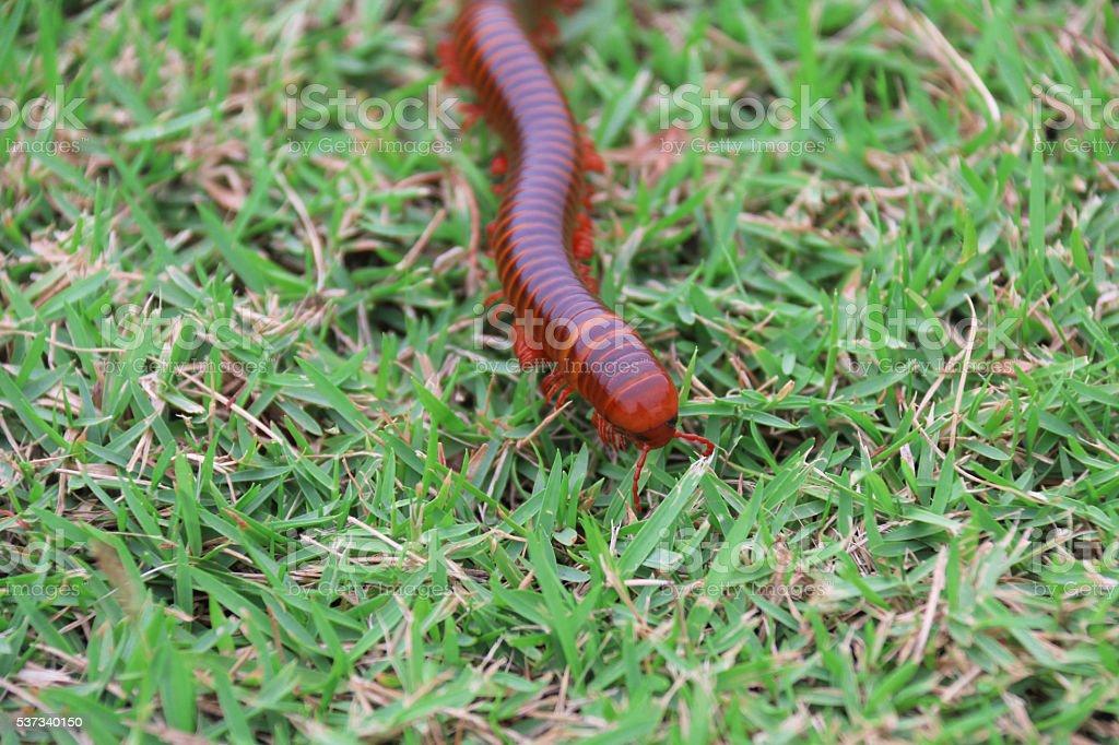 millipede stock photo
