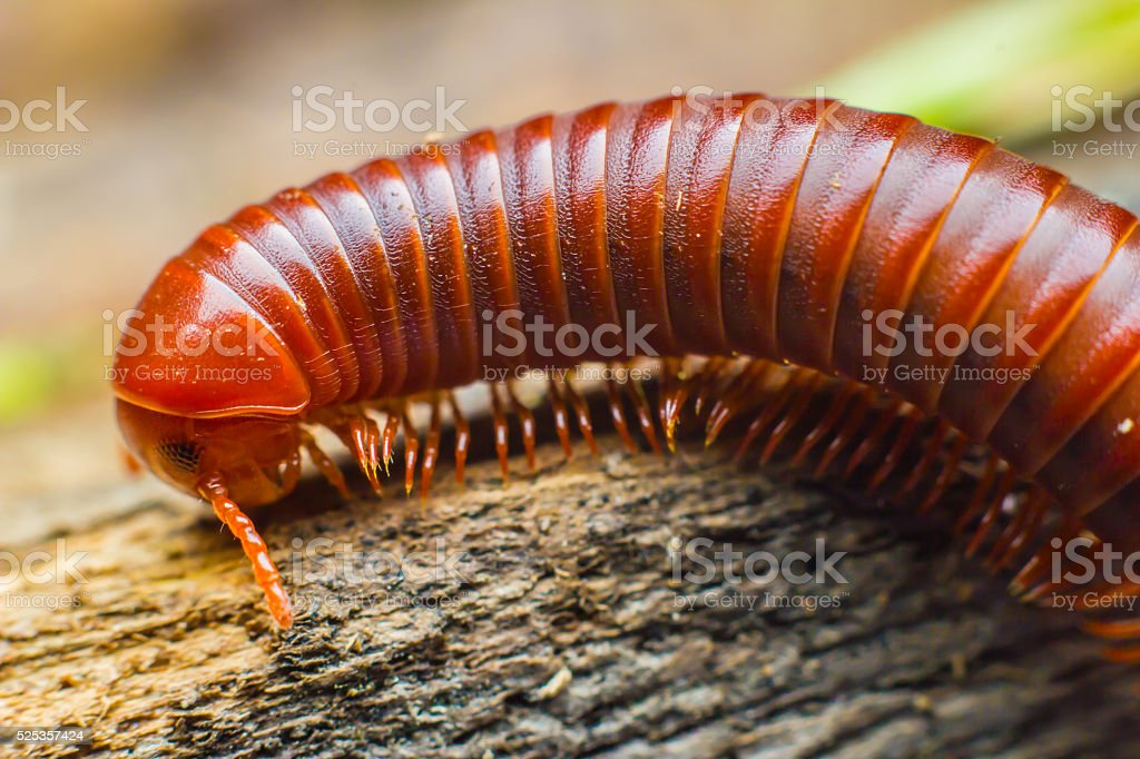 millipede walking stock photo