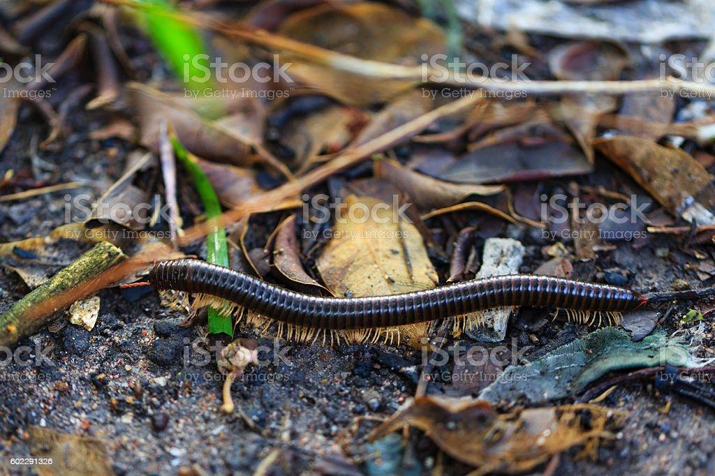 Millipede-millipede in nature. stock photo