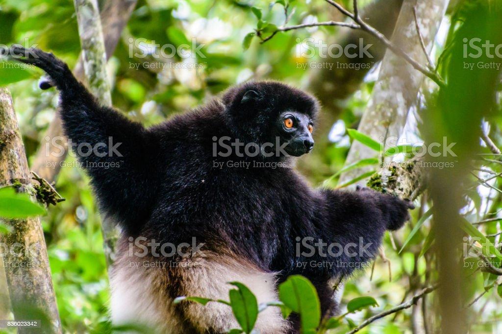 Milne-Edwards Sifaka in Madagascar forest stock photo