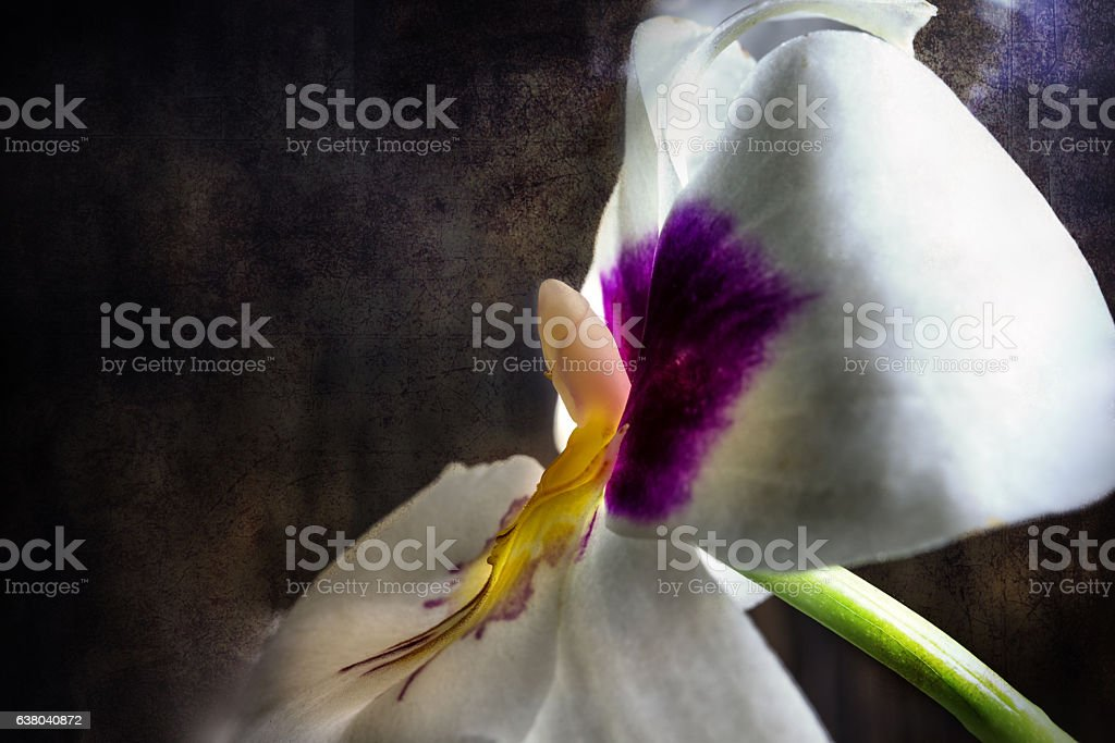 Miltonia orchid flower stock photo