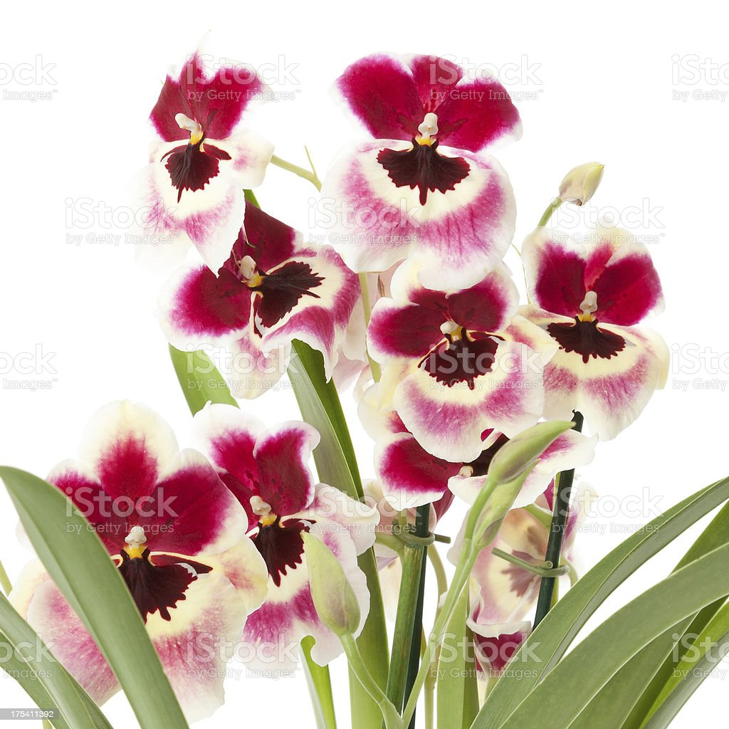 Miltonia Orchid stock photo