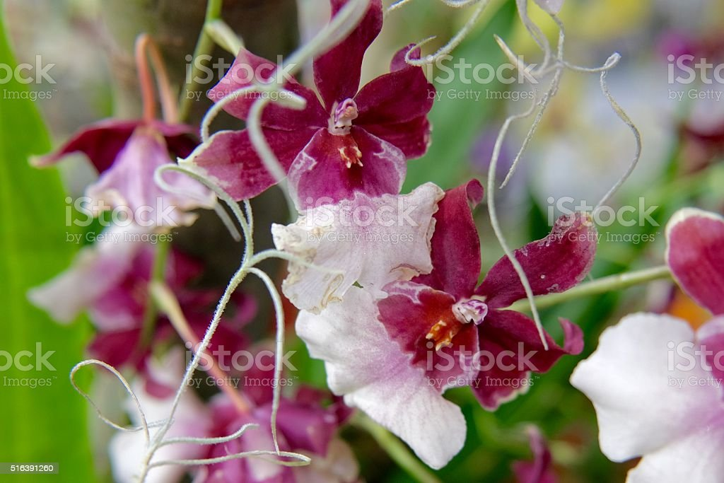 Miltonia Orchid with root stock photo