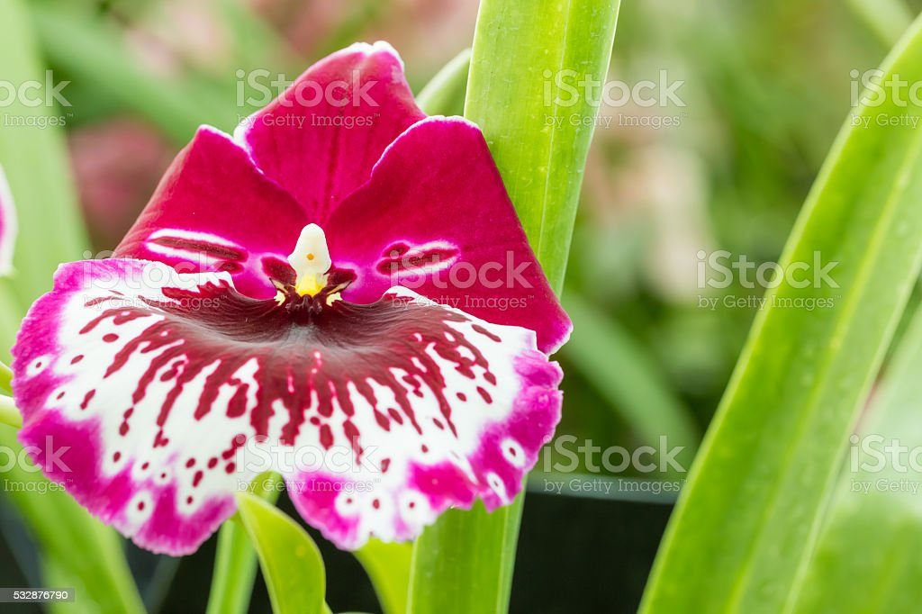Miltonia stock photo