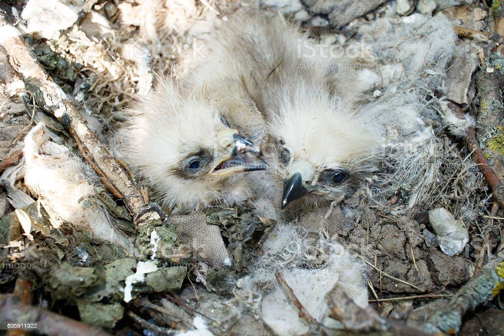 Milvus migrans. The nest of the Black Kite in nature. stock photo