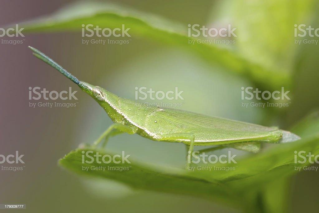 mimetic grasshopper (Acrida conica) royalty-free stock photo