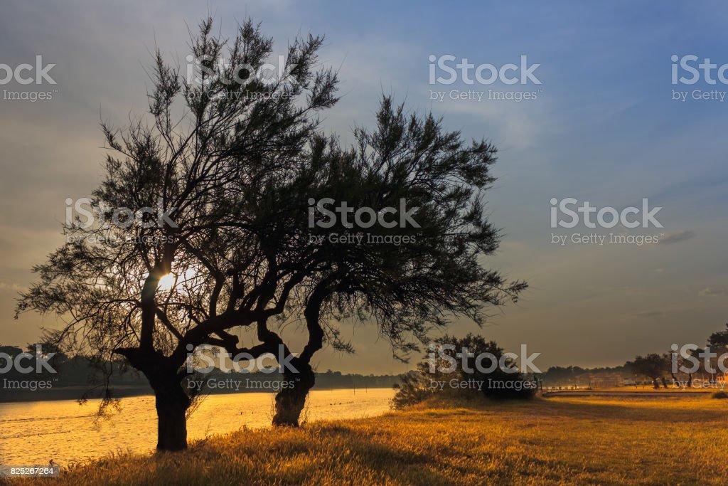 Mimizan Plage - Two Tamarisk trees in the morning sun stock photo