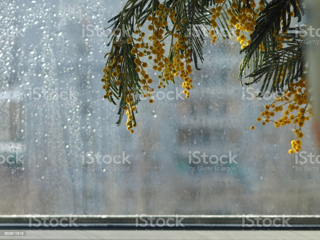 Mimosa against the window. A drop of rain. The concept of spring, comfort and beauty in the house stock photo