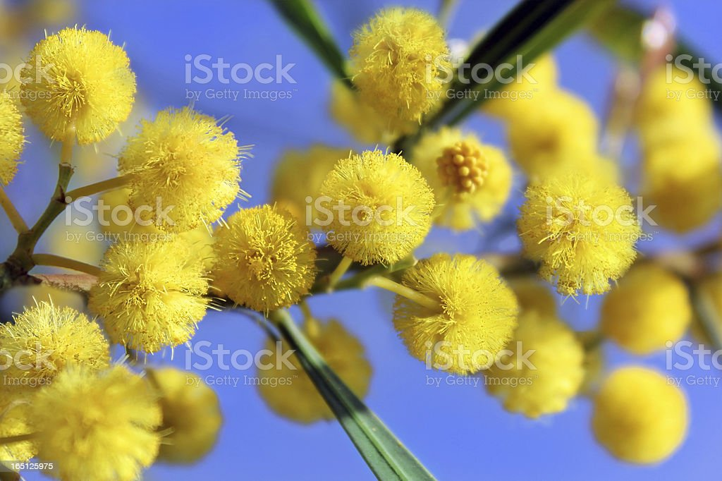 mimosa blossoms, spring has come royalty-free stock photo