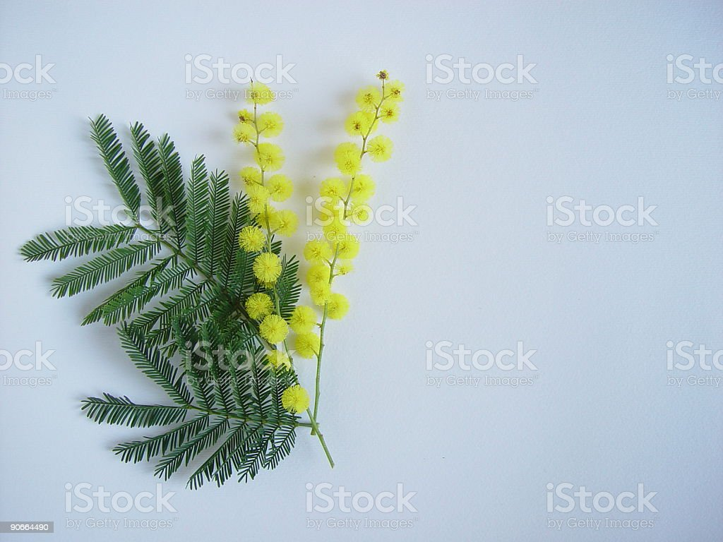 Mimosa Flower - Isolated royalty-free stock photo