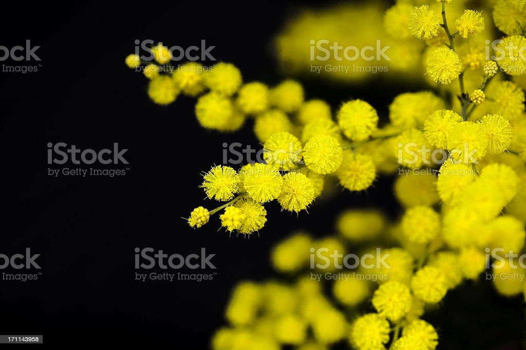 mimosa flower stock photo